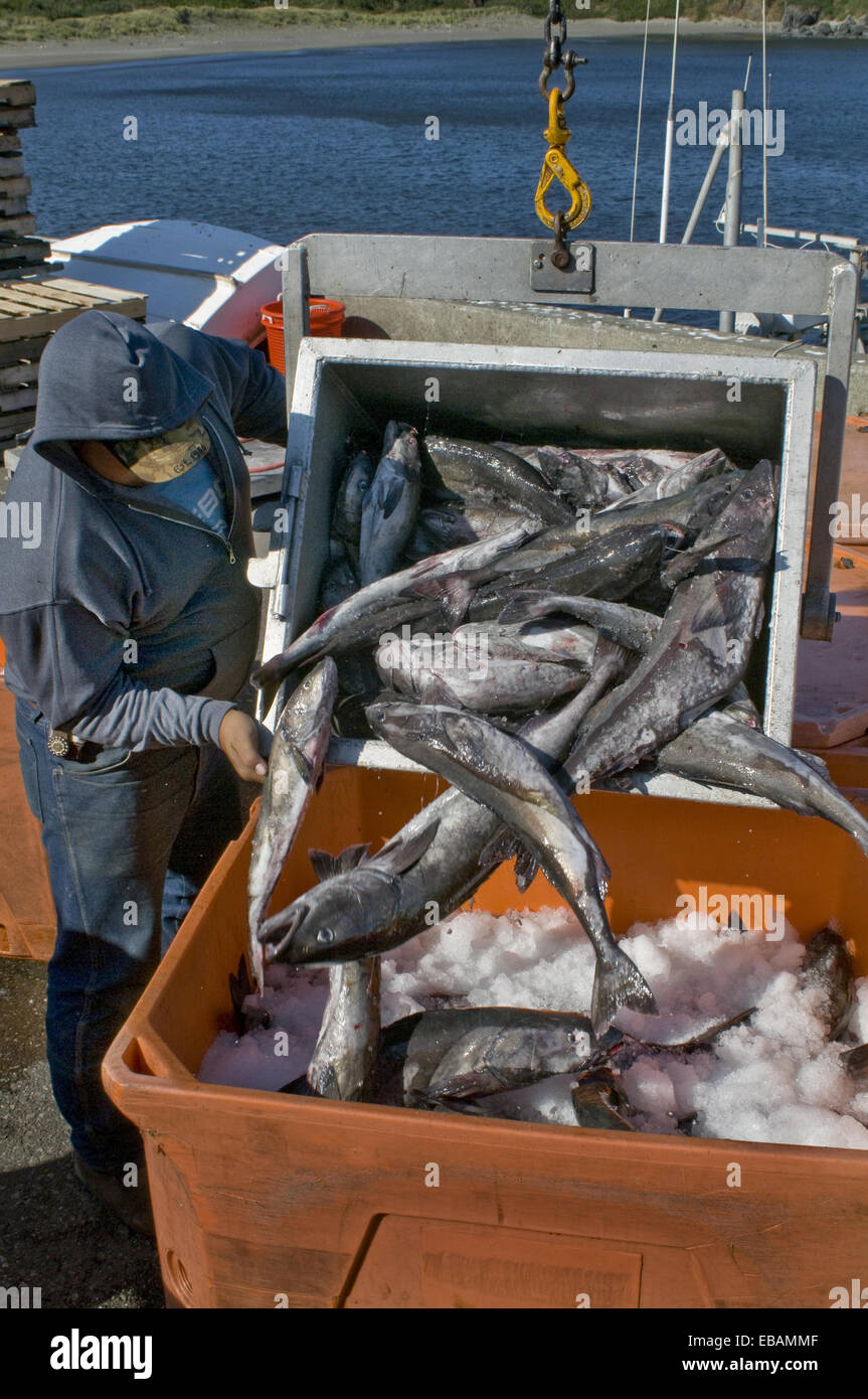 Worker on commercial pier (fish buyer)unloading catch from commercial fishing boat, docked at Port Orford, Oregon - Stock Image