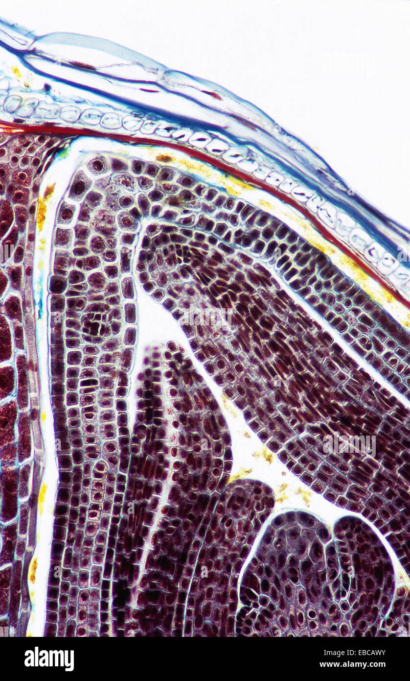 Wheat (Triticum aestivum) seed. Integument, endosperm, nucellus, 200 ...