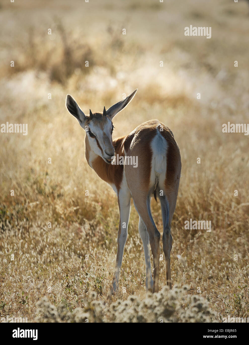 Gazelle on plains, Etosha National Park, Namibia - Stock Image