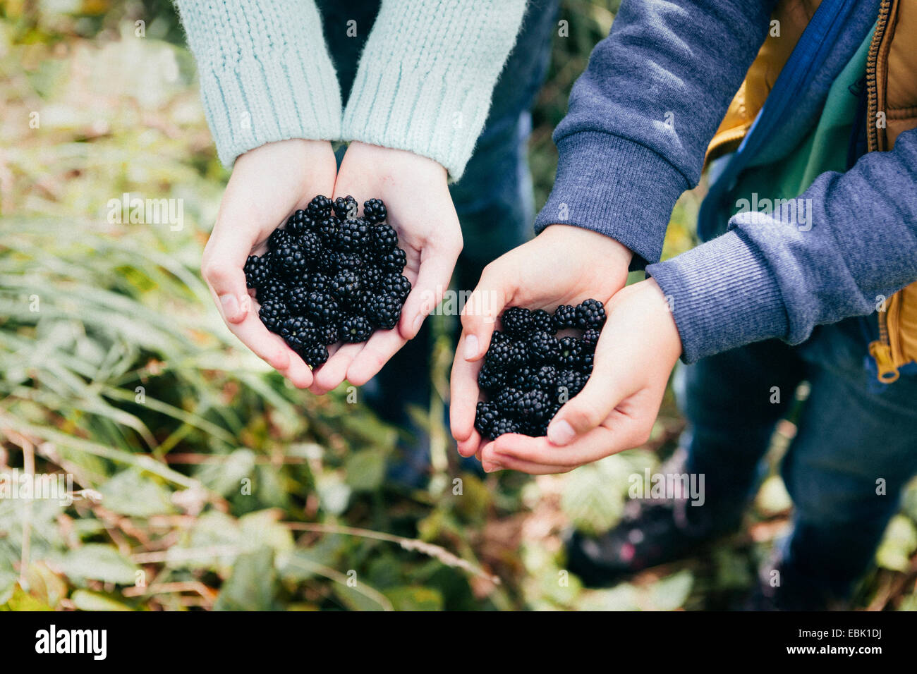 Two people holding blackberries in cupped hands - Stock Image