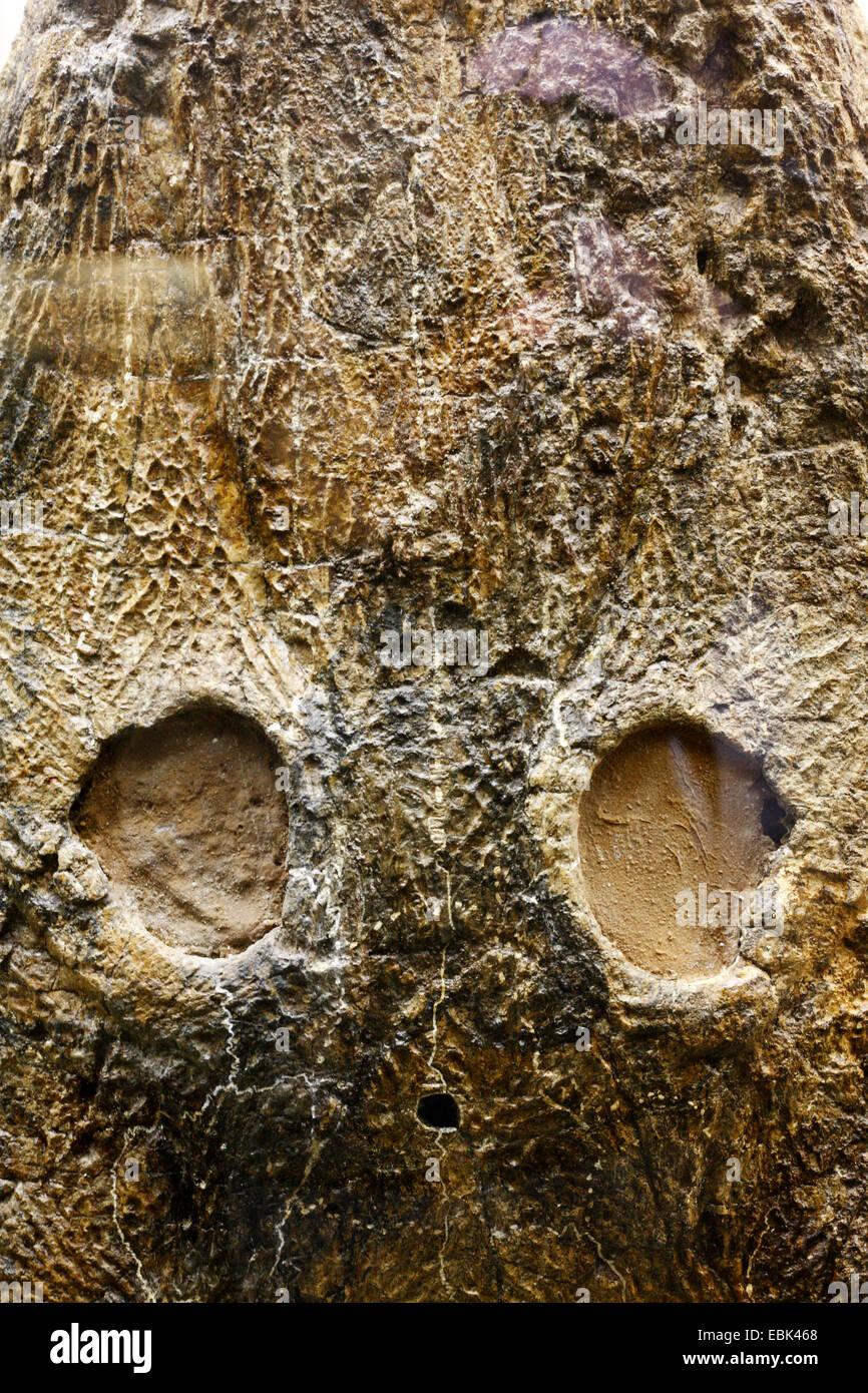 Skull of gigantic amphibian (Mastodonsaurus torvus) - Stock Image