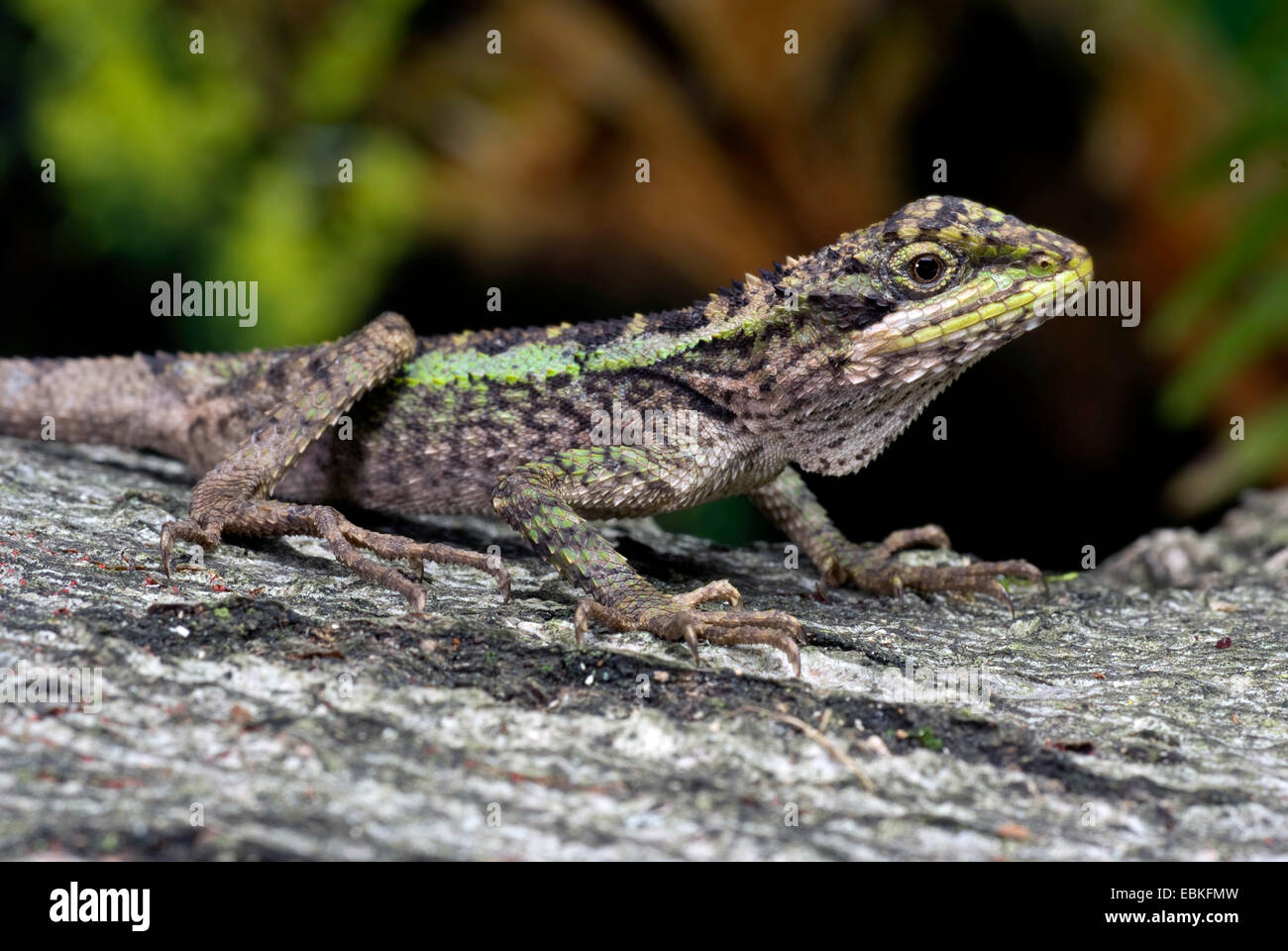 Green Striped Lizard Chinese Tree Dragon Dragon Agama Japalura