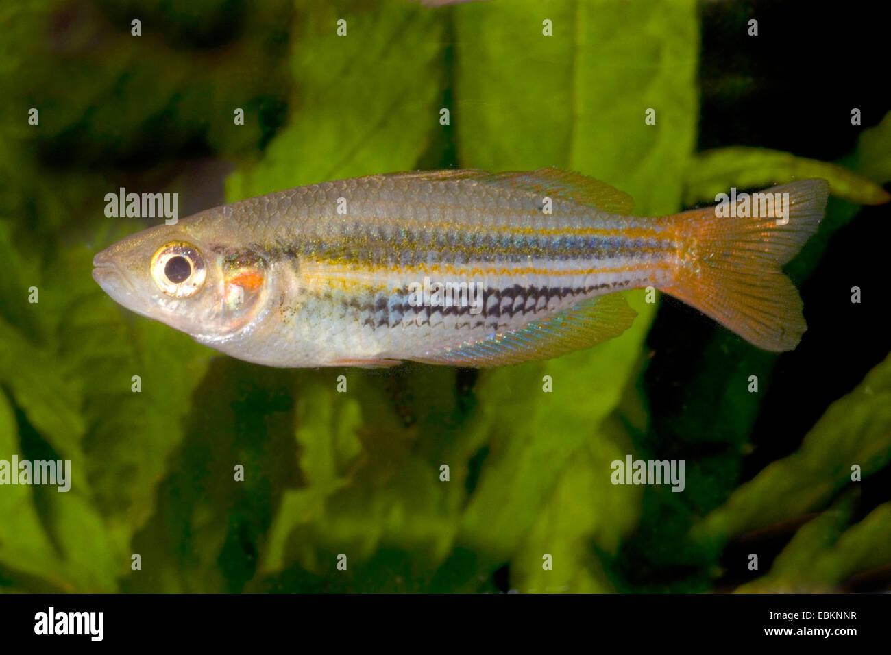 Papua Rainbowfish (Melanotaenia papuae), full length portrait - Stock Image