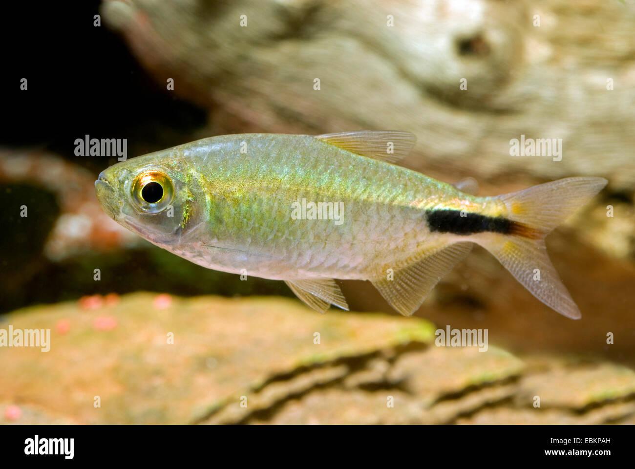 Long finned Characin (Alestes longipinnis), swimming - Stock Image