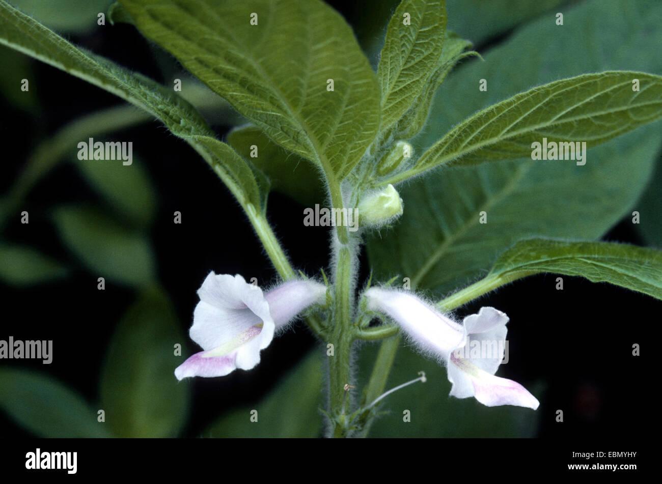 sesamum, sesame (Sesamum indicum), blooming plant Stock Photo