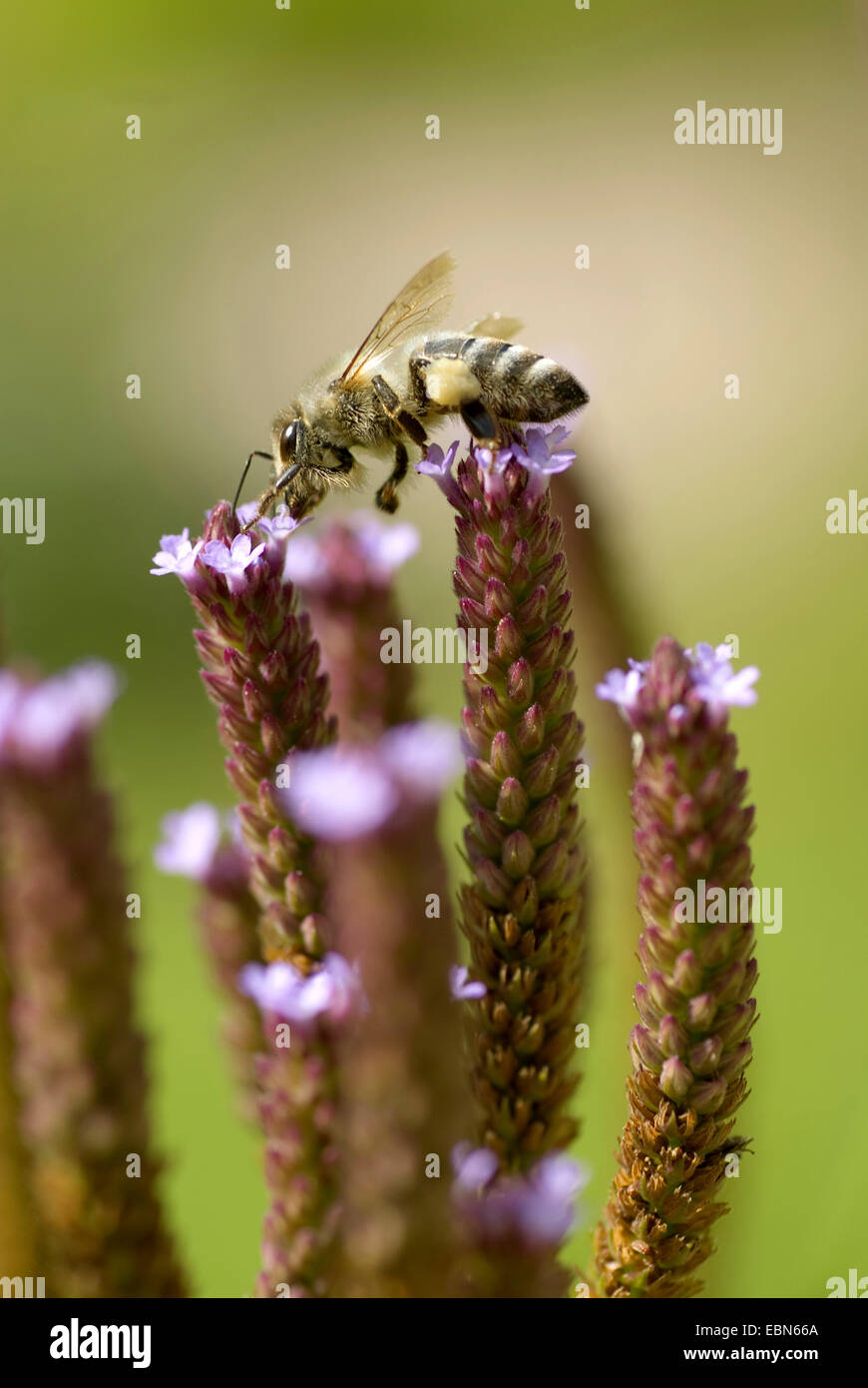 Tall vervain (Verbena bonariensis), with bee - Stock Image