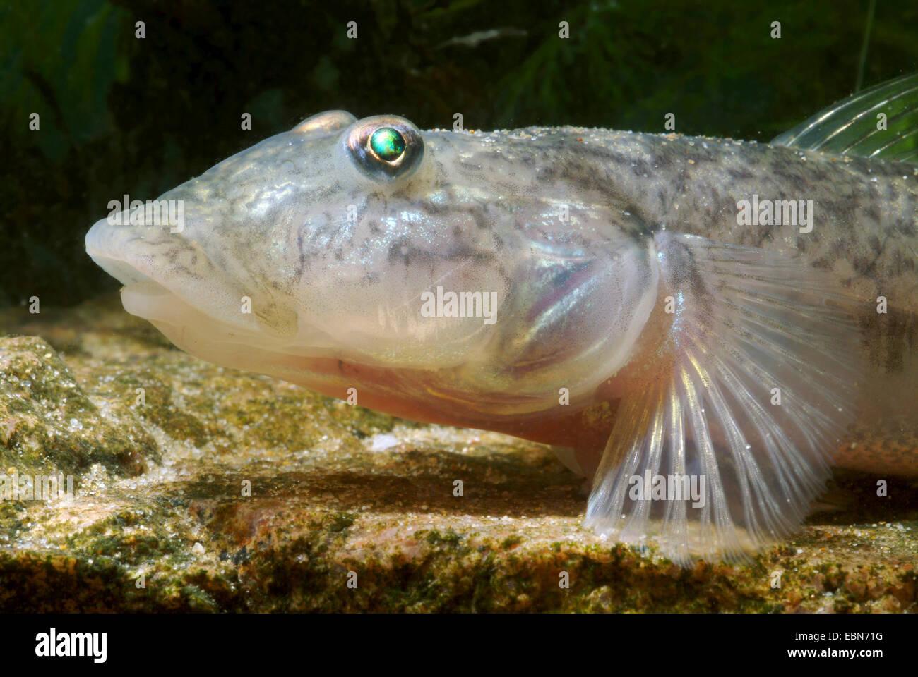West African freshwater goby, Sideband Gobio (Awaous lateristriga, Gobius lateristriga, Chonophorus lateristriga, - Stock Image