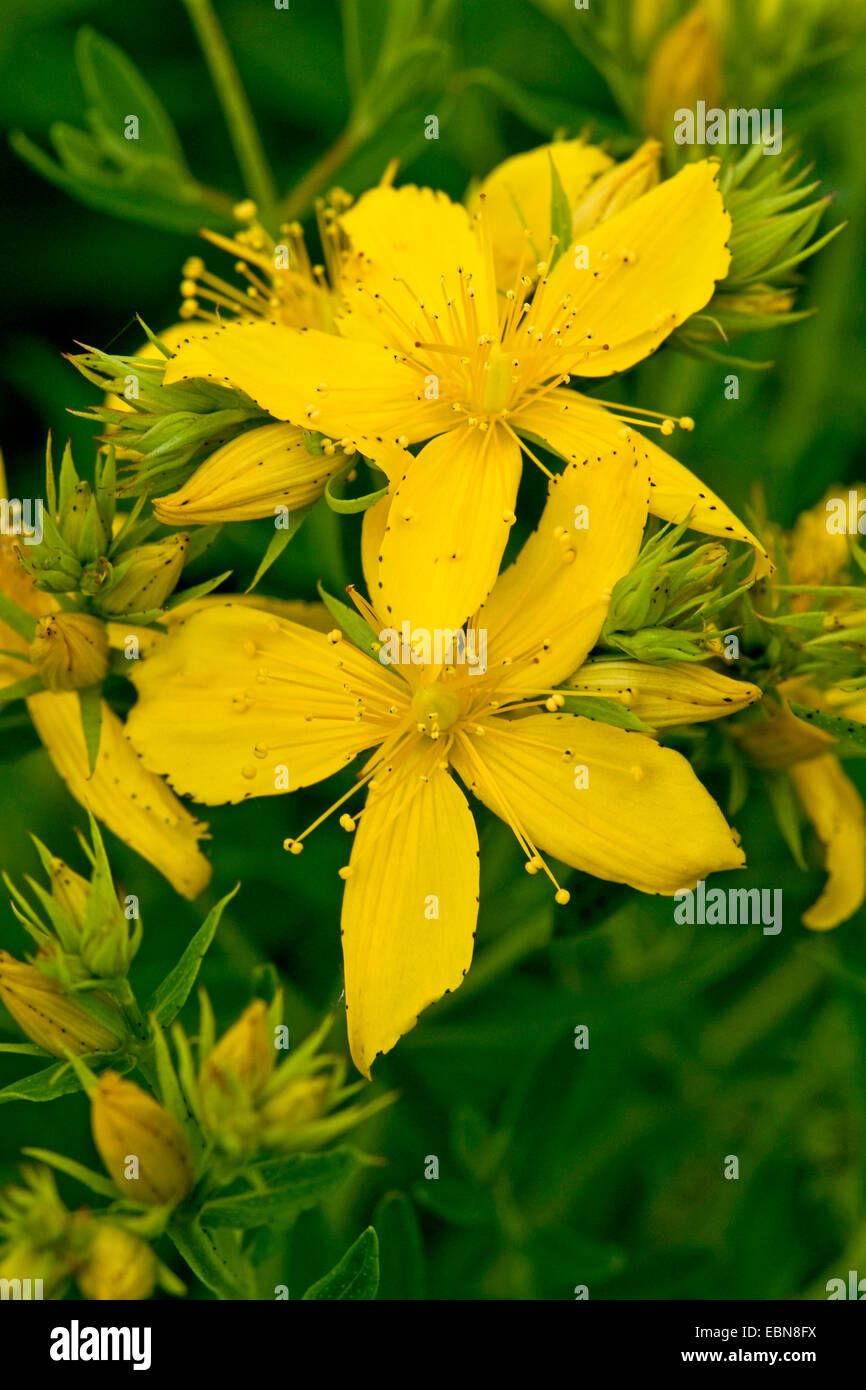 common St John's-wort, perforate St John's-wort, klamath weed, St. John's-wort (Hypericum perforatum), blooming, Stock Photo