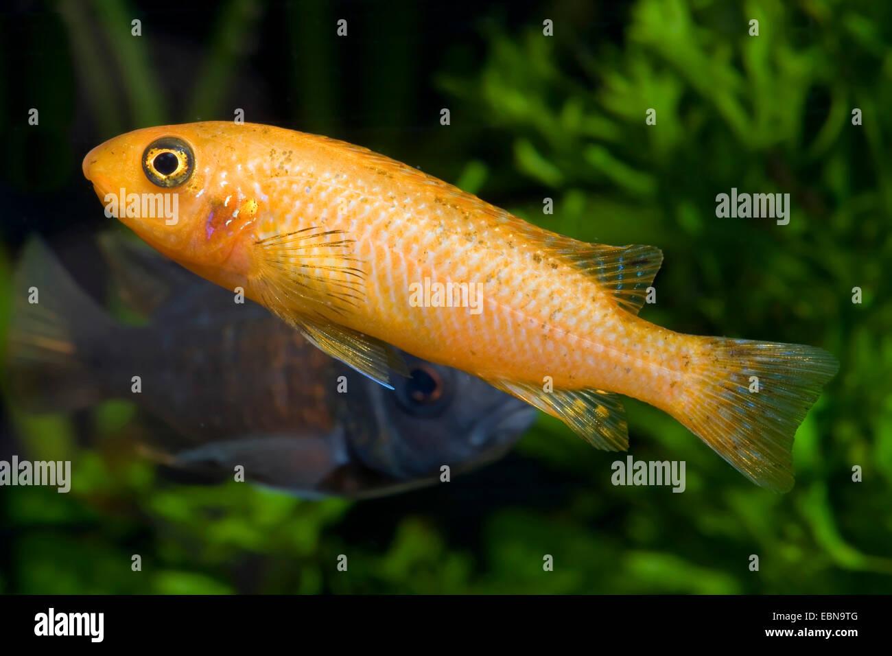 Scrapermouth mbuna (Labeotropheus trewavasae), female Stock Photo