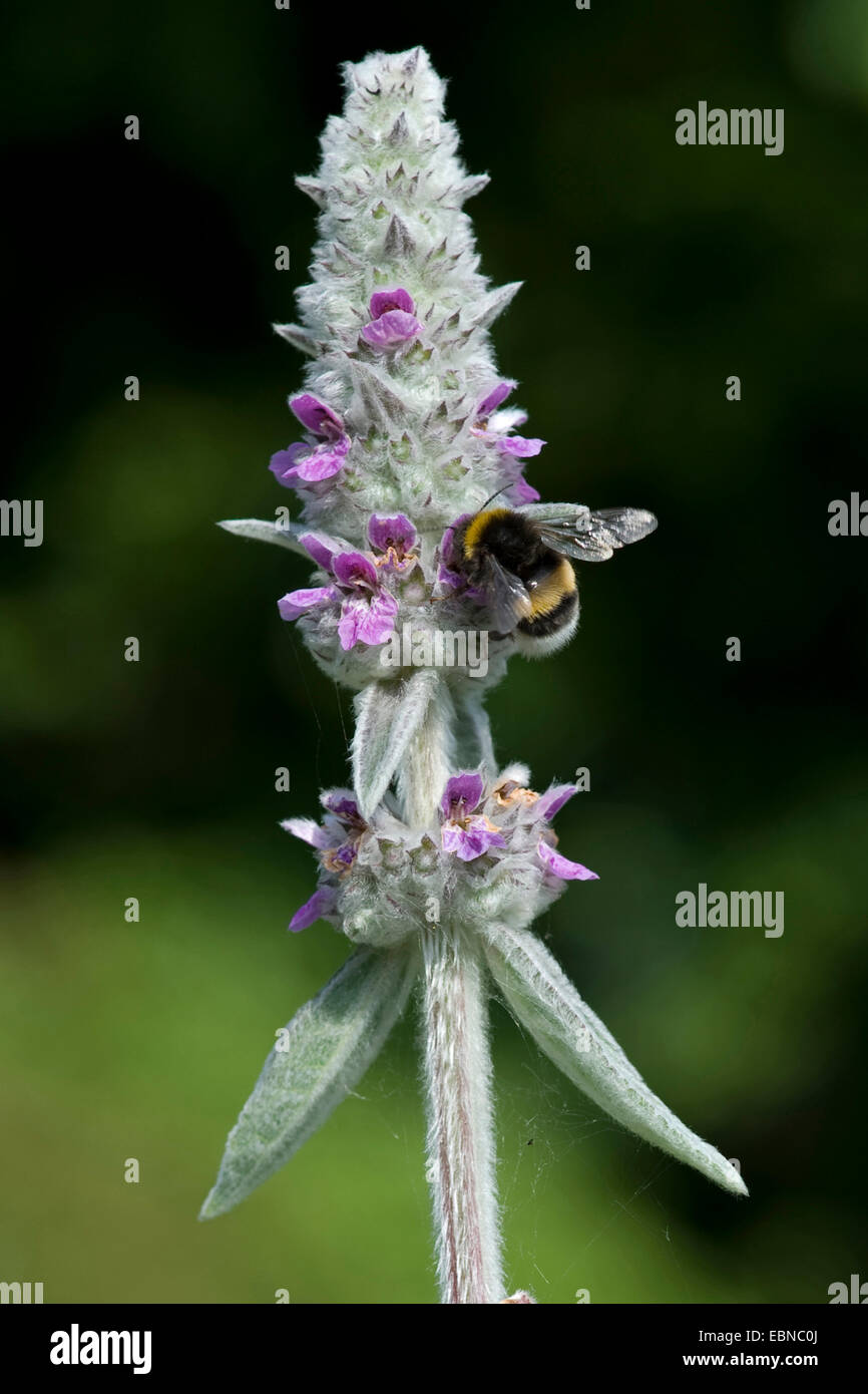 woolly lamb's ear (Stachys byzantina), inflorescence with humble bee - Stock Image