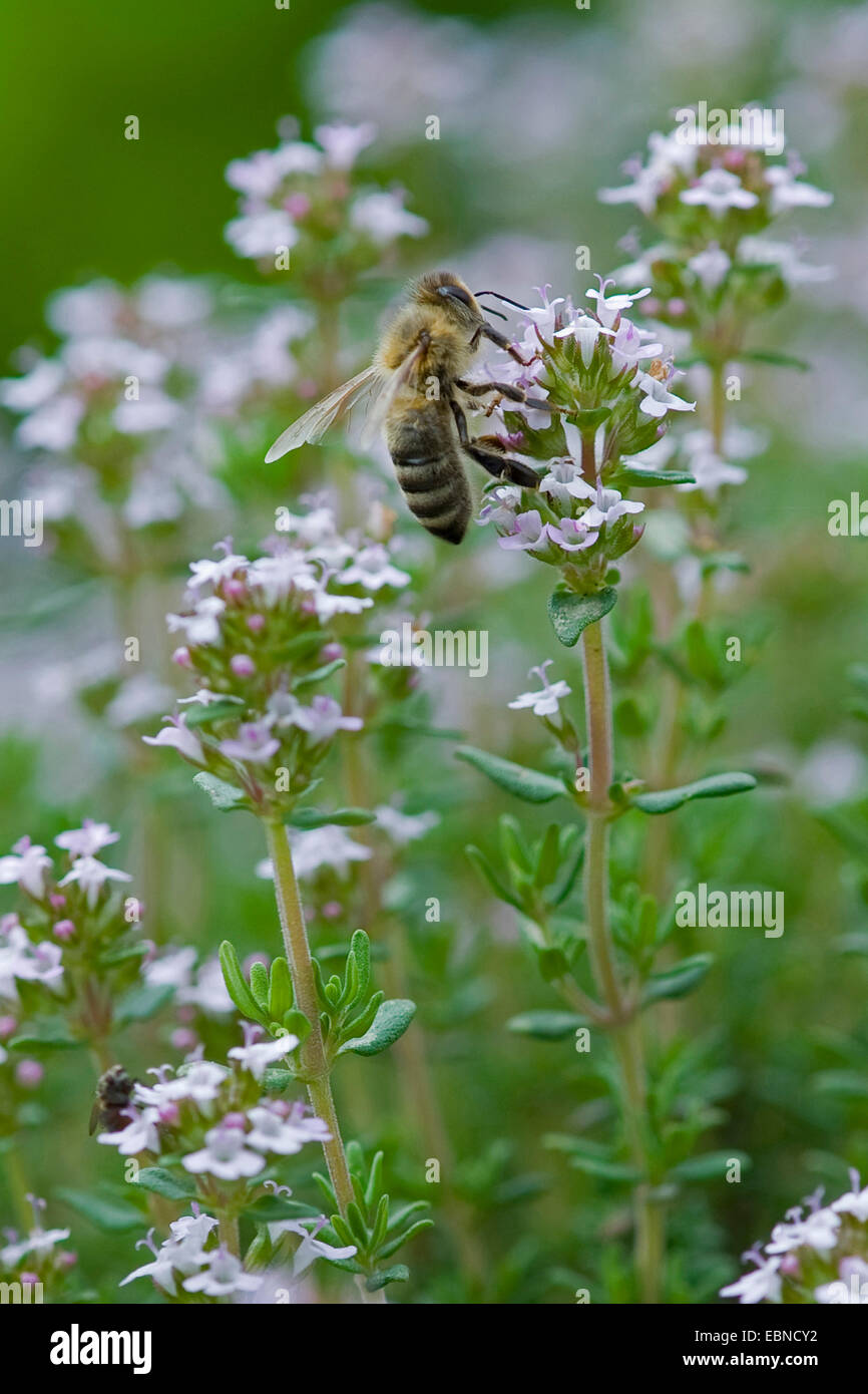Garden thyme, English thyme, Common thyme (Thymus vulgaris), inflorescence with bee, Germany - Stock Image