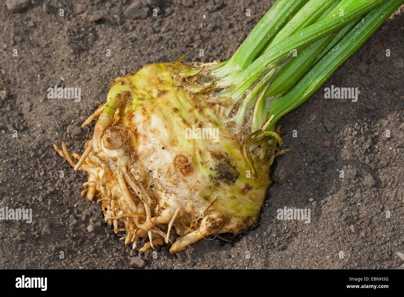 Celery, Celeriac, Turnip-rooted celery, Knob celery (Apium graveolens var. rapaceum, Apium graveolens rapaceum, - Stock Image
