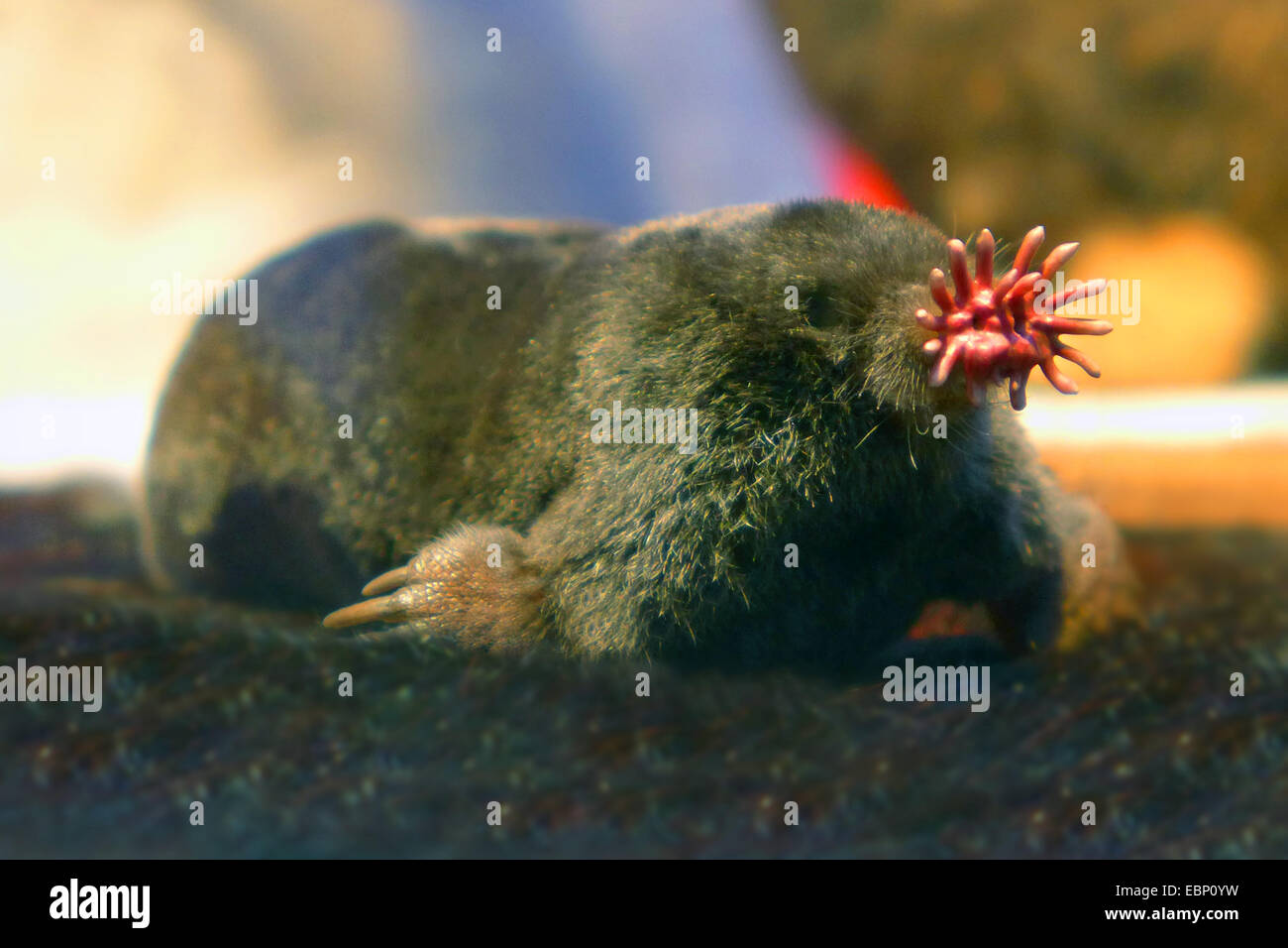 Star-nosed mole (Condylura cristata), snout with pink fleshy appendages used as a touch organ Stock Photo