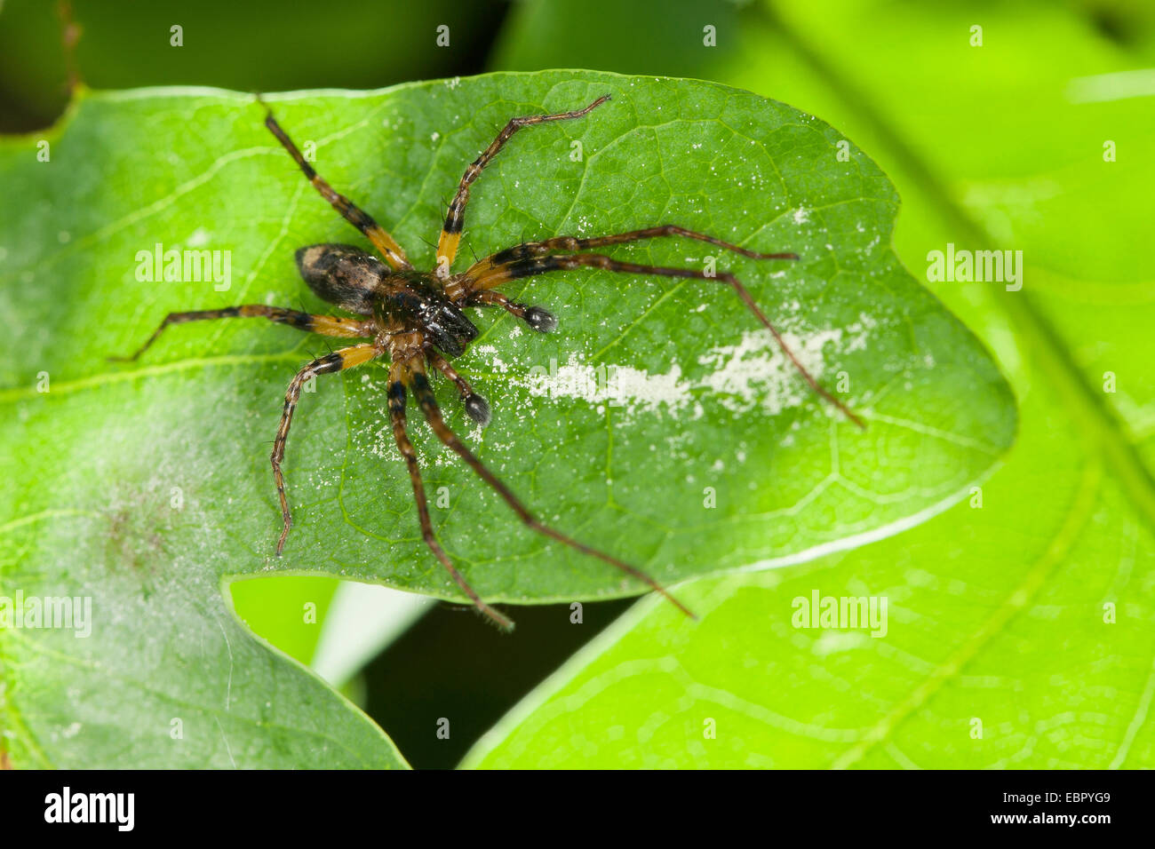 buzzing spider (Anyphaena accentuata), male, Germany - Stock Image