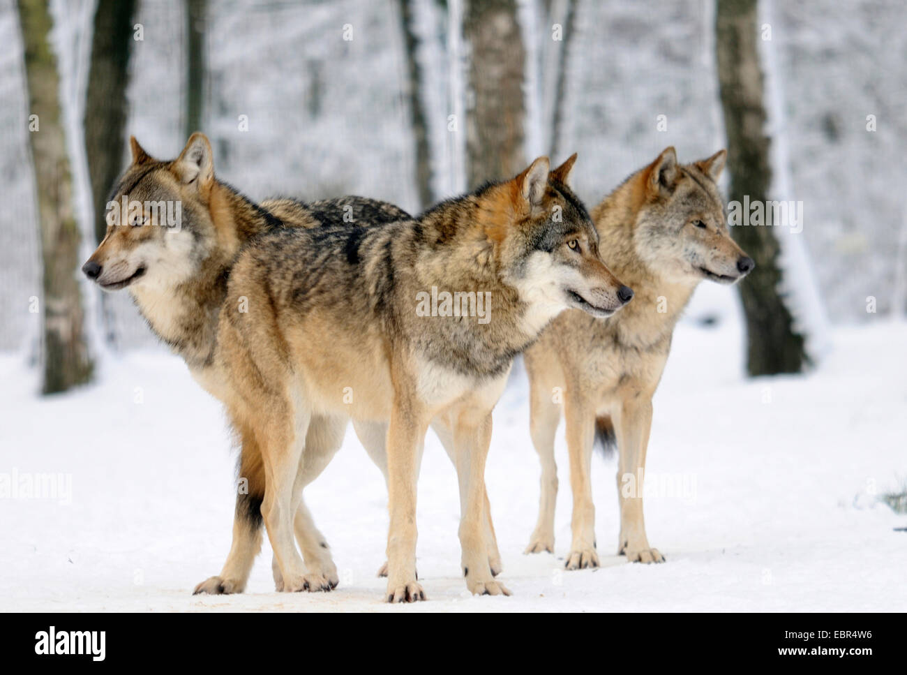 Wolf Germany european wolf canis lupus three wolves in winter landscape stock
