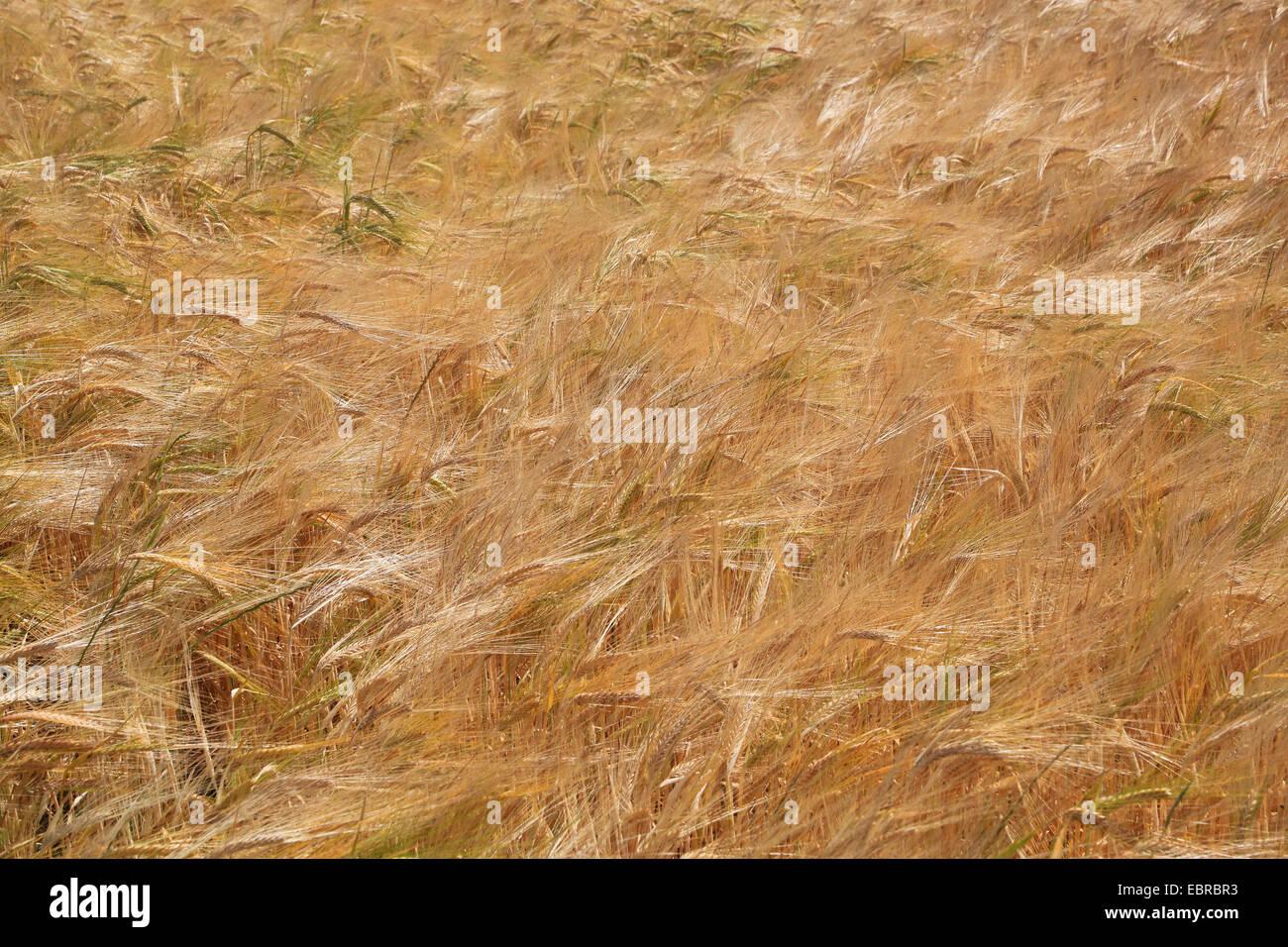 barley (Hordeum vulgare), mature barley field, Germany - Stock Image