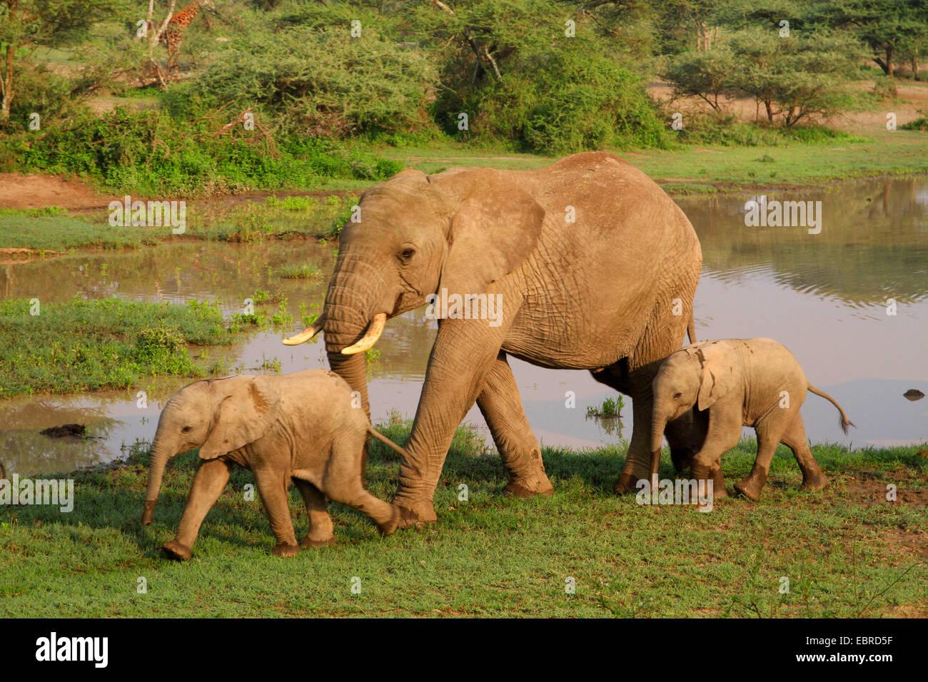 African elephant (Loxodonta africana), cow elephant with two calves at the waterhole, Tanzania, Serengeti National - Stock Image