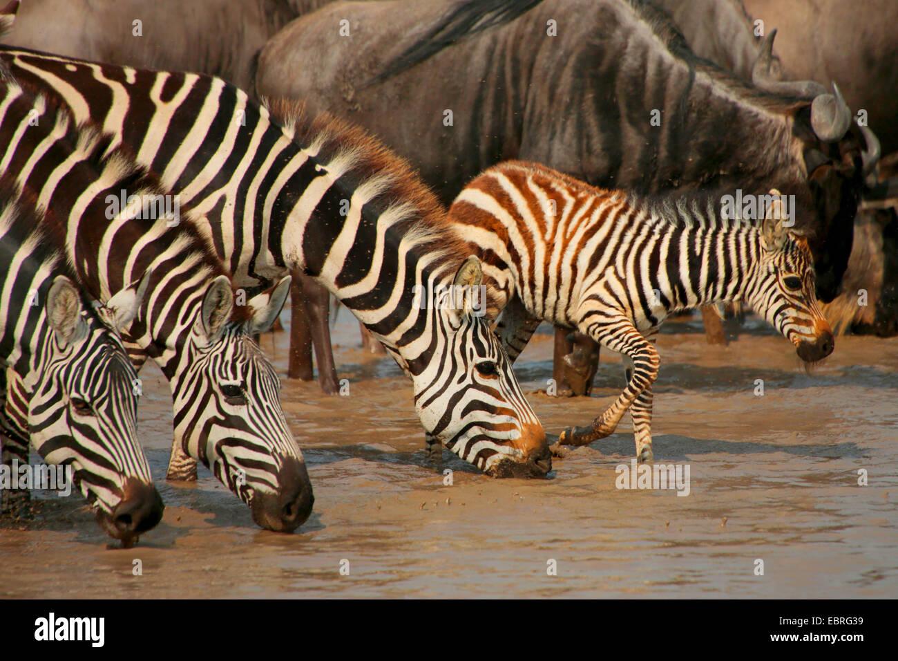 Common Zebra (Equus quagga), zebras drink at a waterhole, Tanzania, Serengeti National Park - Stock Image
