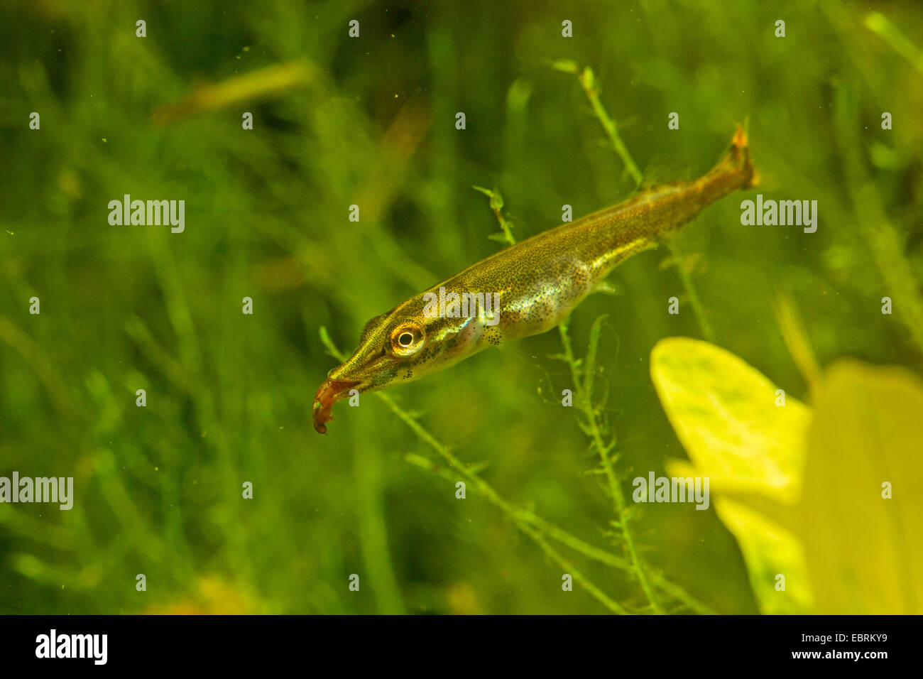 pike, northern pike (Esox lucius), juvenile eating a mosquito larva, Germany - Stock Image