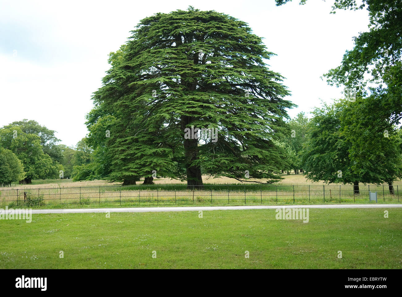 cedar of Lebanon (Cedrus libani), single tree - Stock Image