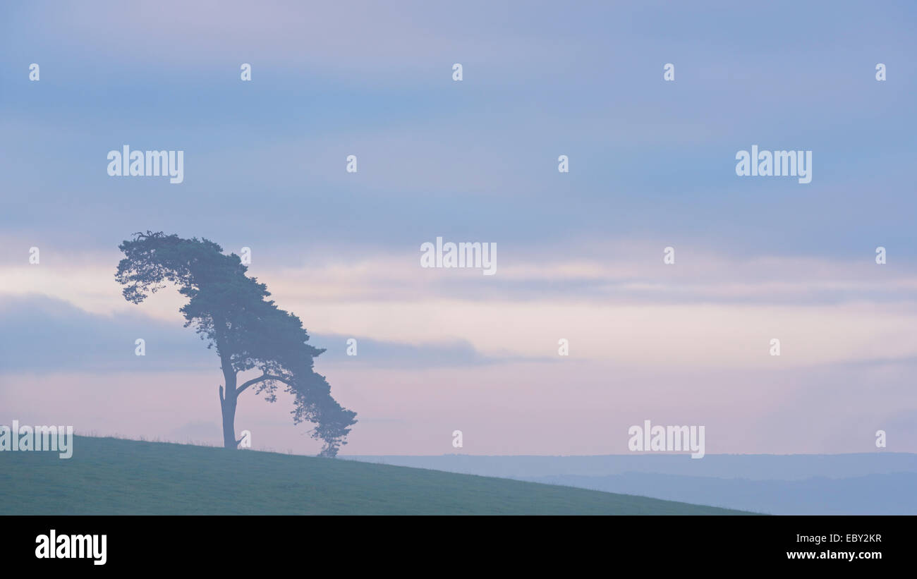 Lone pine tree on a rural hill top at dawn, Devon, England. Summer (July) 2014. - Stock Image