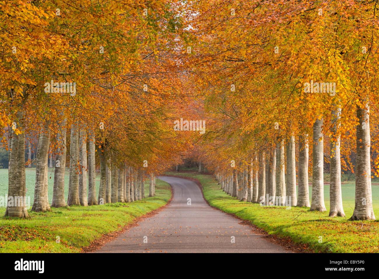 Avenue of colourful trees in autumn, Dorset, England. November 2014. - Stock Image