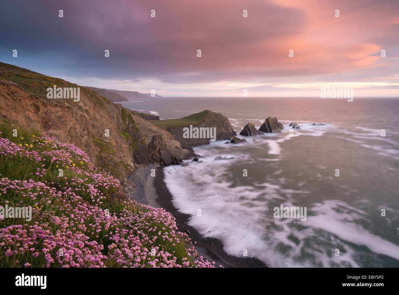 Sea Pink wildflowers flowering on the clifftops at Hartland Quay, looking towards Screda Point, Devon, England. - Stock Image