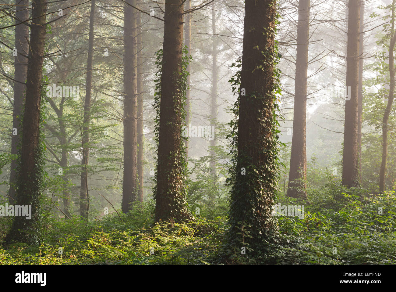 Pine forest with early morning sunlight, Morchard Bishop, Devon, England. Autumn (September) 2014. - Stock Image