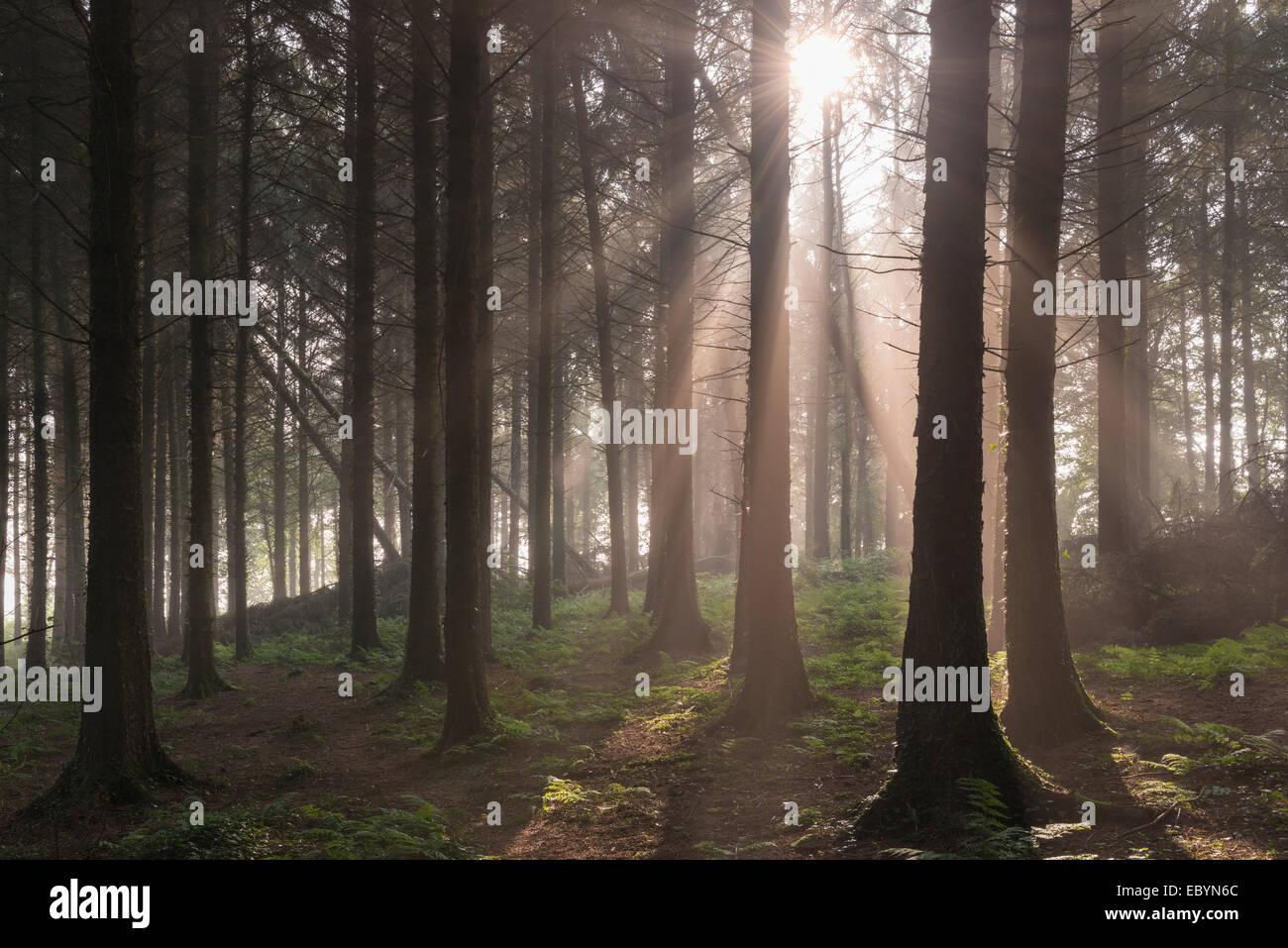 Sun shining through misty pine woodland, Morchard Bishop, Devon, England. September (Autumn) 2014. - Stock Image