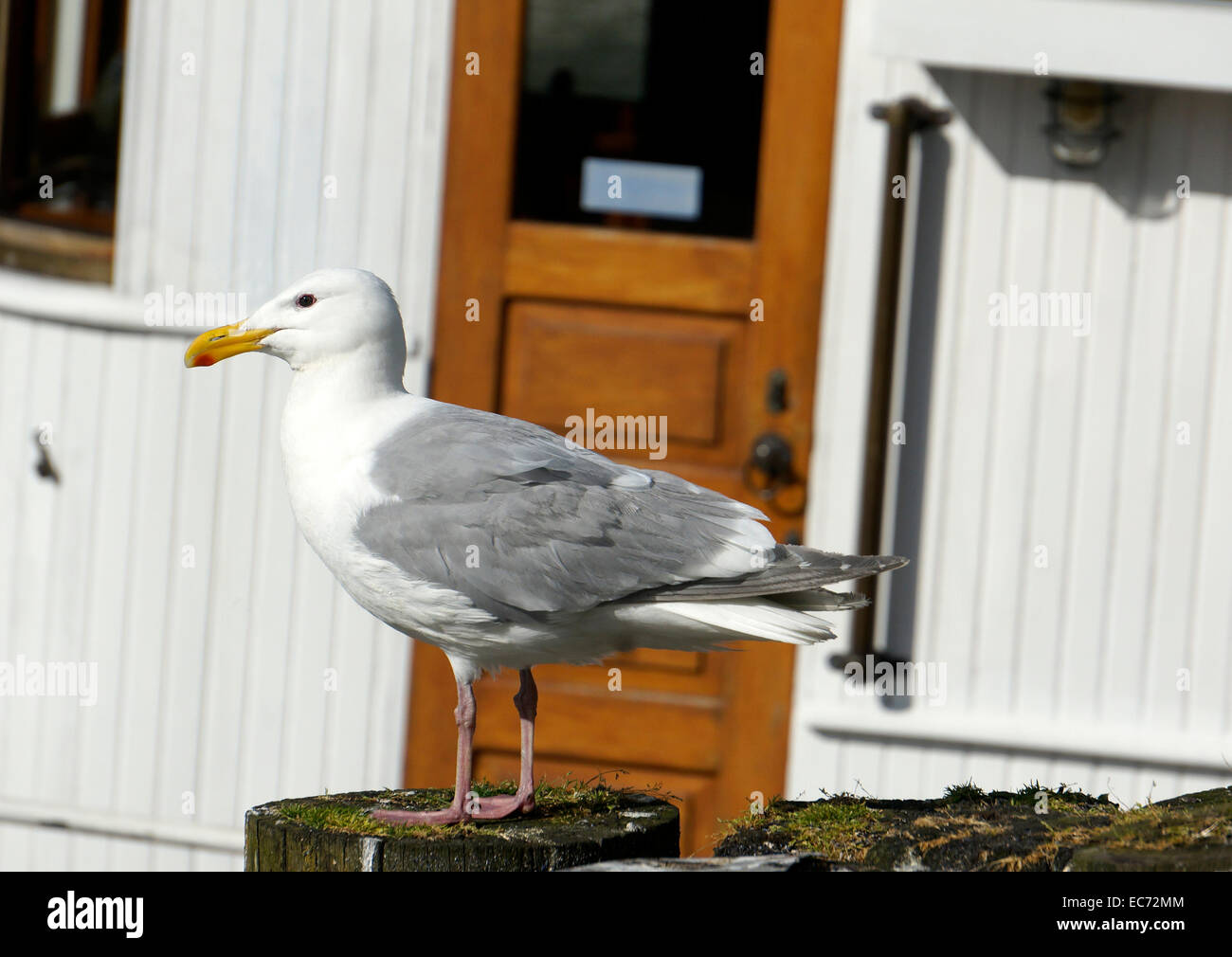 mature-western-gull-larus-occidentalis-p