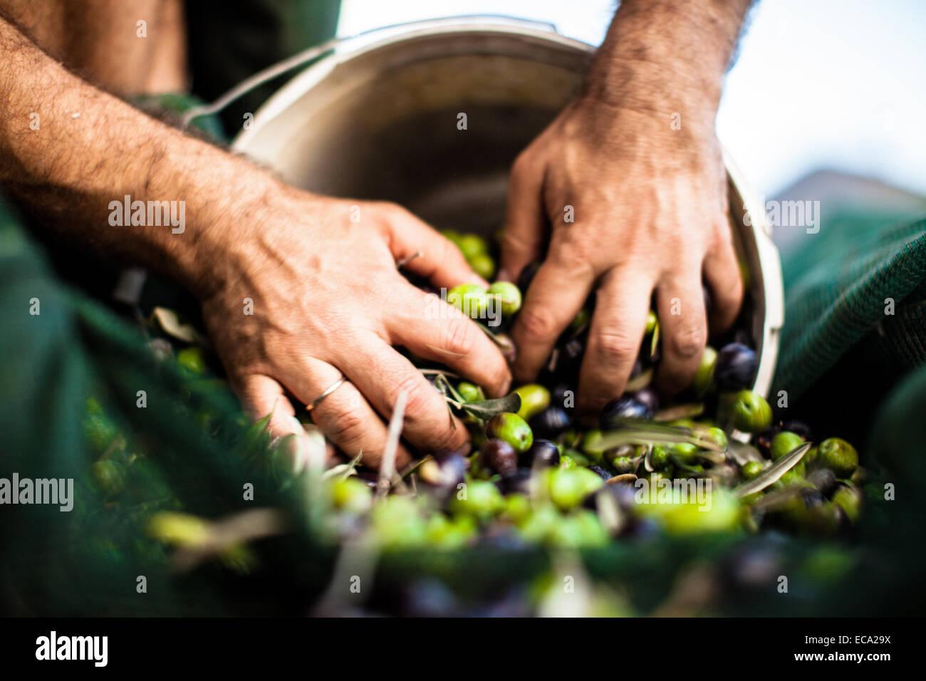 Man pushing olives in bucket - Stock Image