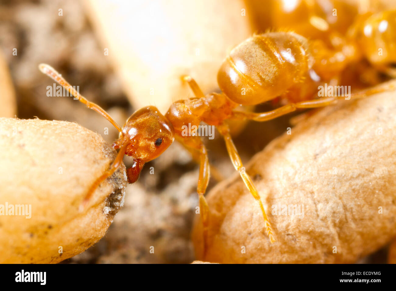 Yellow Meadow Ant (Lasius flavus) worker moving cocooned pupae in a nest. Powys, Wales. July. Stock Photo
