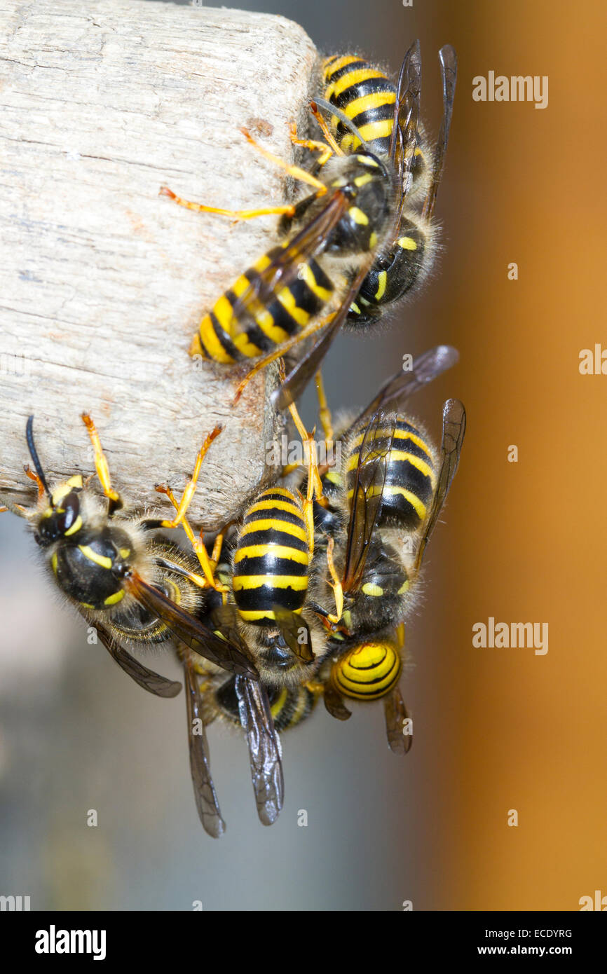 Tree Wasp (Dolicovespula sylvestris) adult males and new queens, mass emergence from the nest entrance. Powys, Wales. - Stock Image