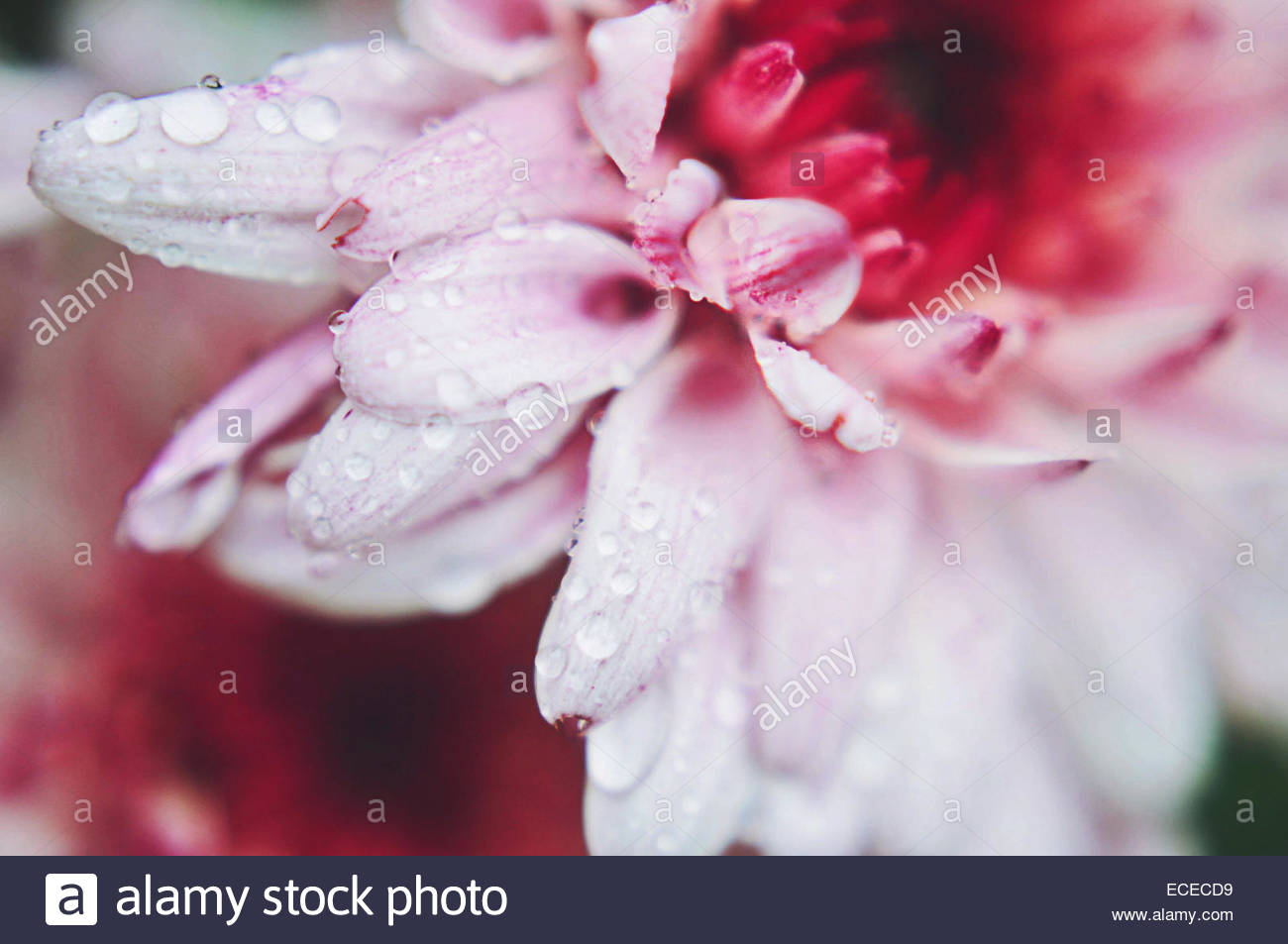 Macro pink chrysanthemum flower with water droplets - Stock Image