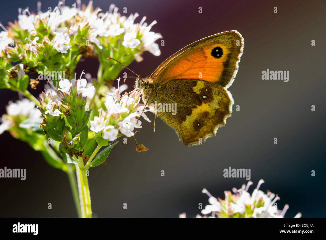 backlit-female-gatekeeper-butterfly-pyronia-tithonus-feeding-on-marjoram-ECGJFA.jpg
