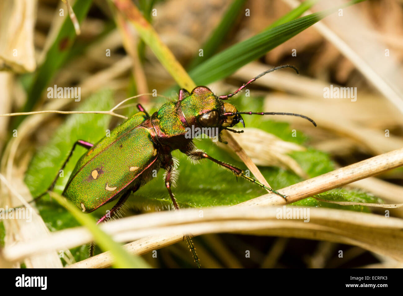 ground-living-green-tiger-beetle-cicindela-campestris-on-heathland-ECRFK3.jpg