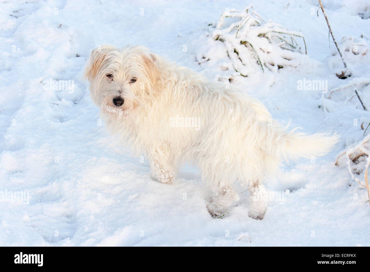 Long coated, white haired Jack Russell terrier bitch in the snow Stock Photo
