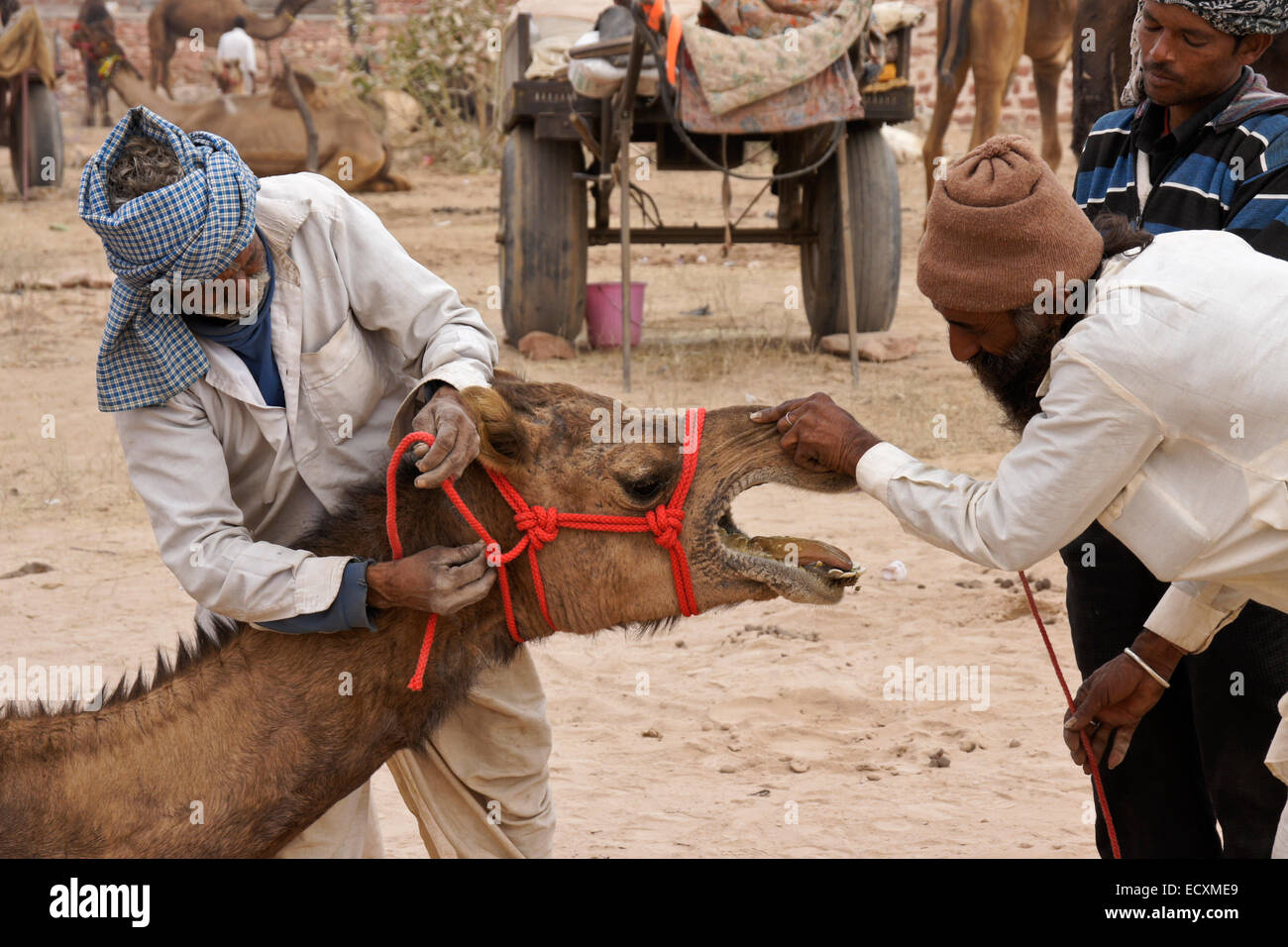 Camel seller and prospective buyer, Nagaur Fair, Rajasthan, India - Stock Image