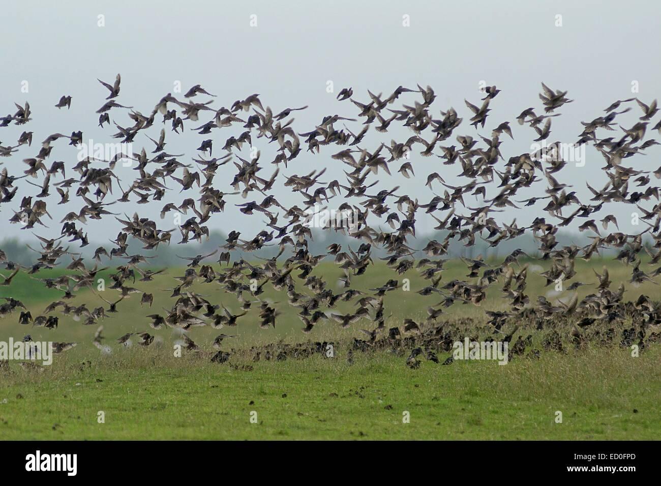 Flock of starlings taking off, Leer, Lower Saxony, Germany - Stock Image