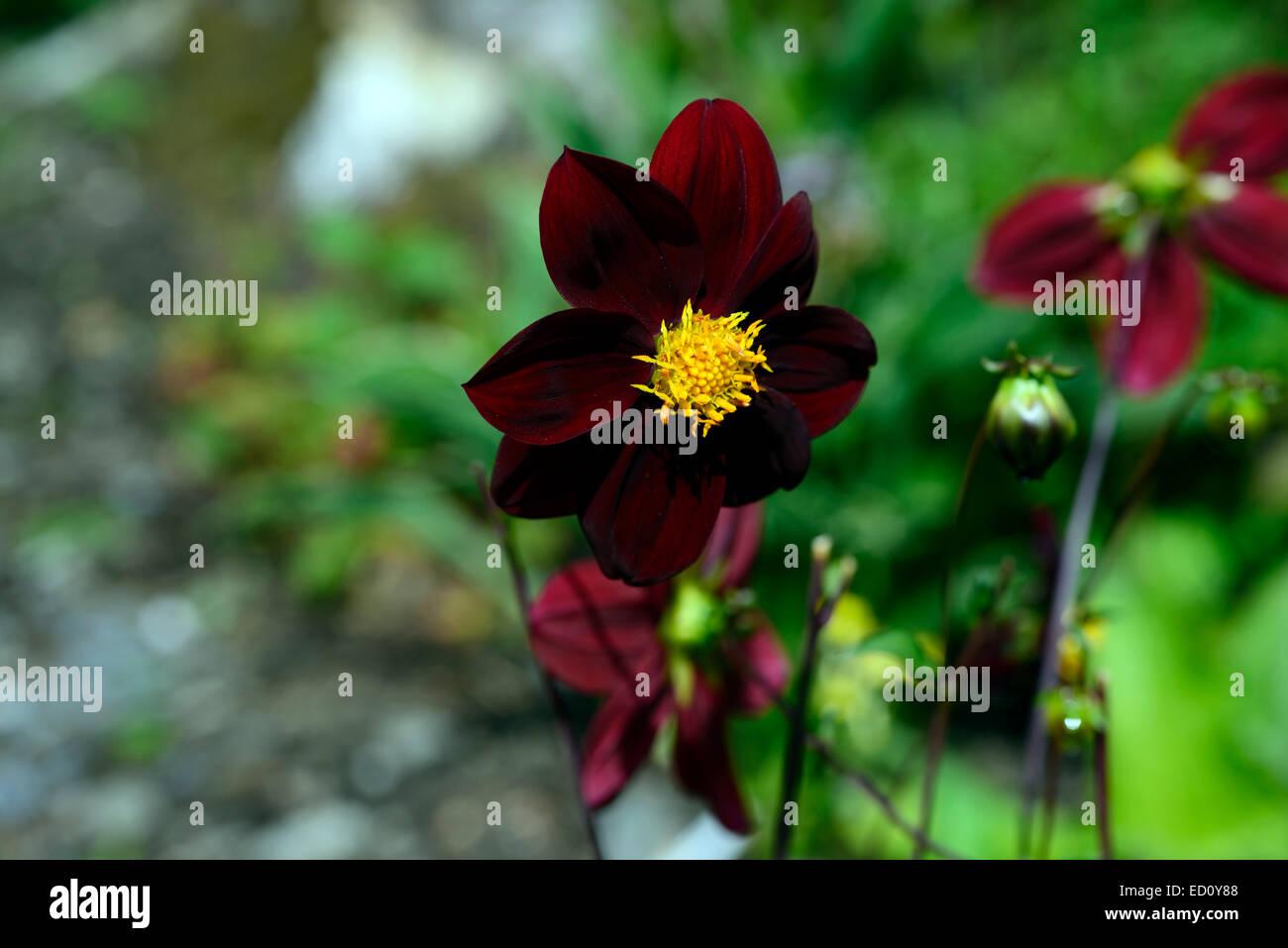 Dahlia X Cosmos Mexican Black Dark Purple Flowers Flower Flowering