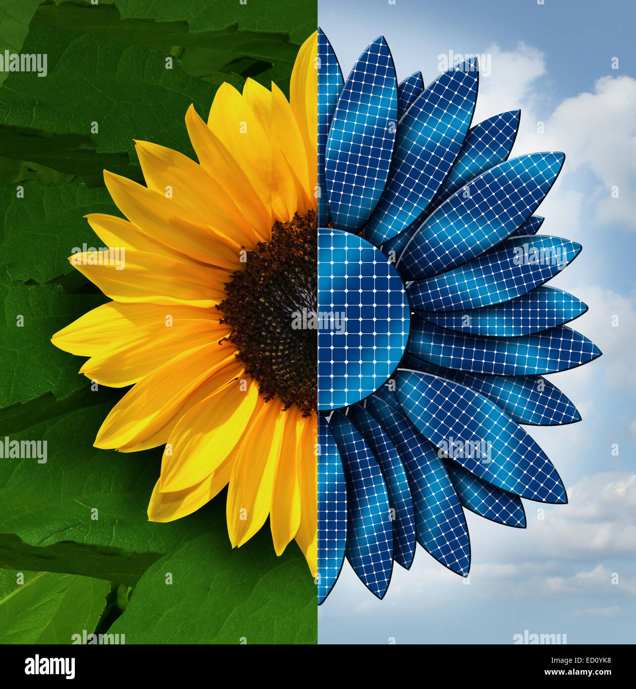 Sun energy concept as a sunflower divided in two with the opposite side as solar panel petals as a symbol and metaphor - Stock Image