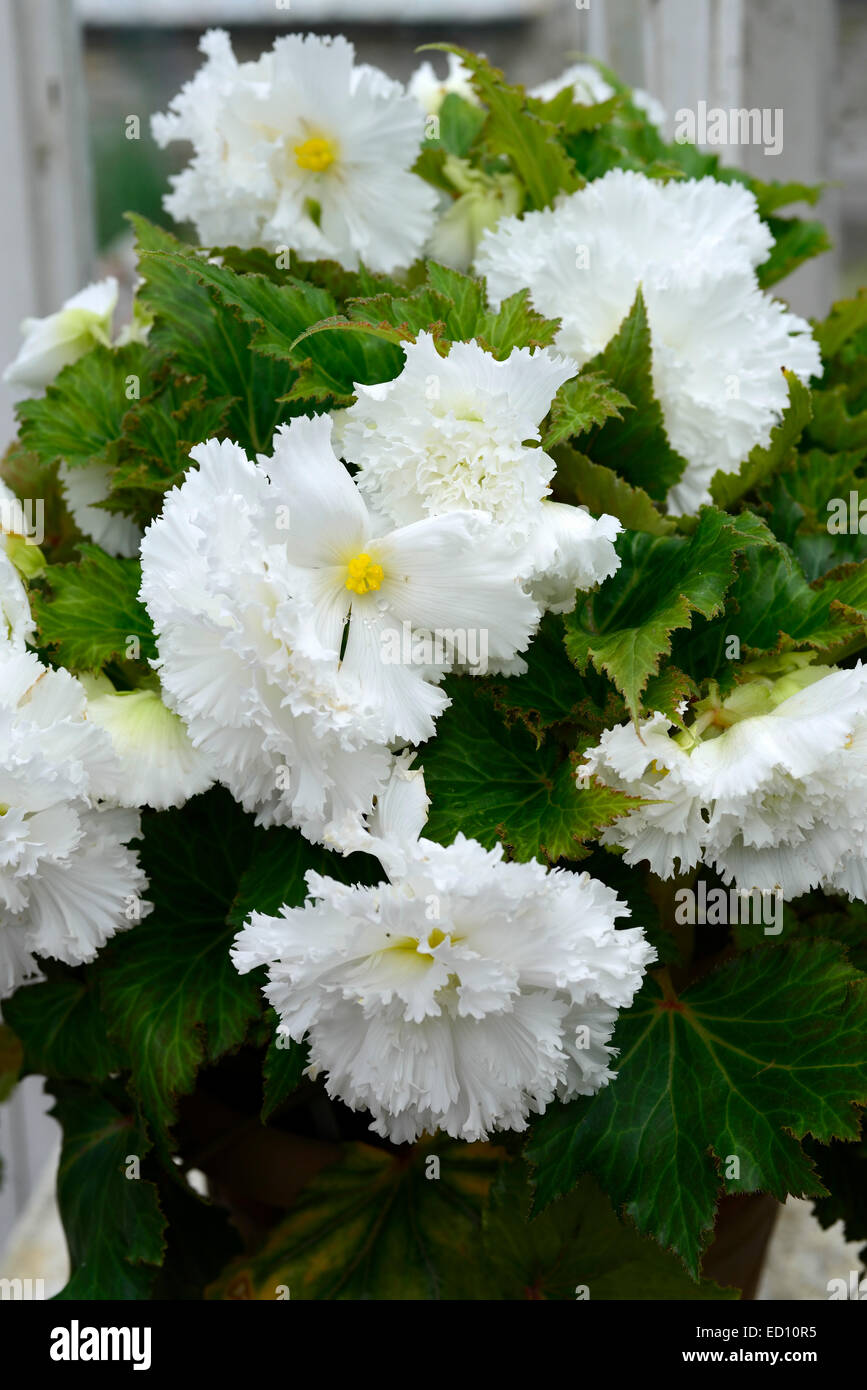 White Double Begonia Trailing Plant Tender Annual Bulb Flower