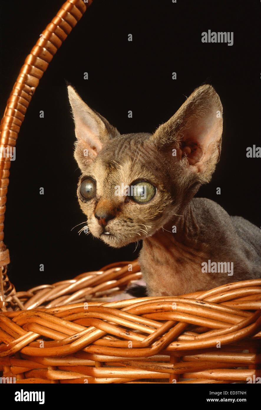 Devon Rex cat - Stock Image