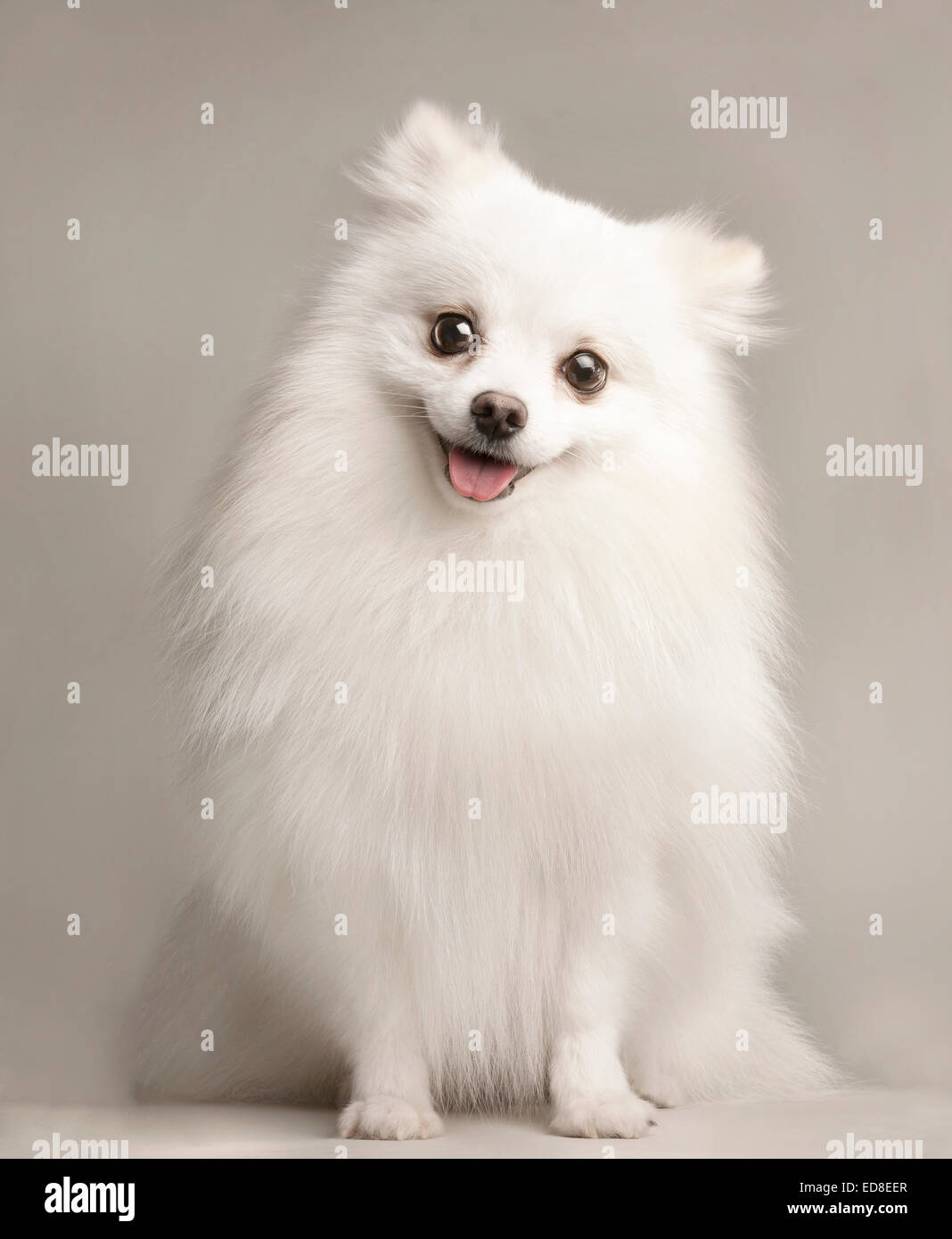 A portrait of a happy white Pomeranian in a white studio background. - Stock Image