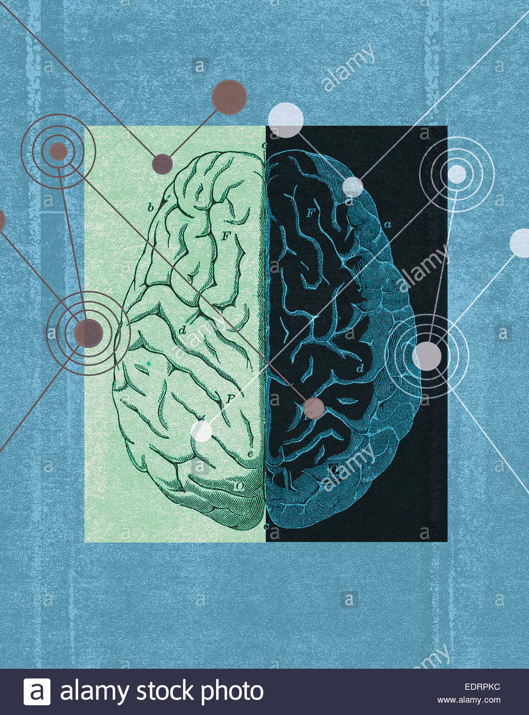 Diagram of left and right sides of brain stock photo 77354688 alamy diagram of left and right sides of brain ccuart Gallery