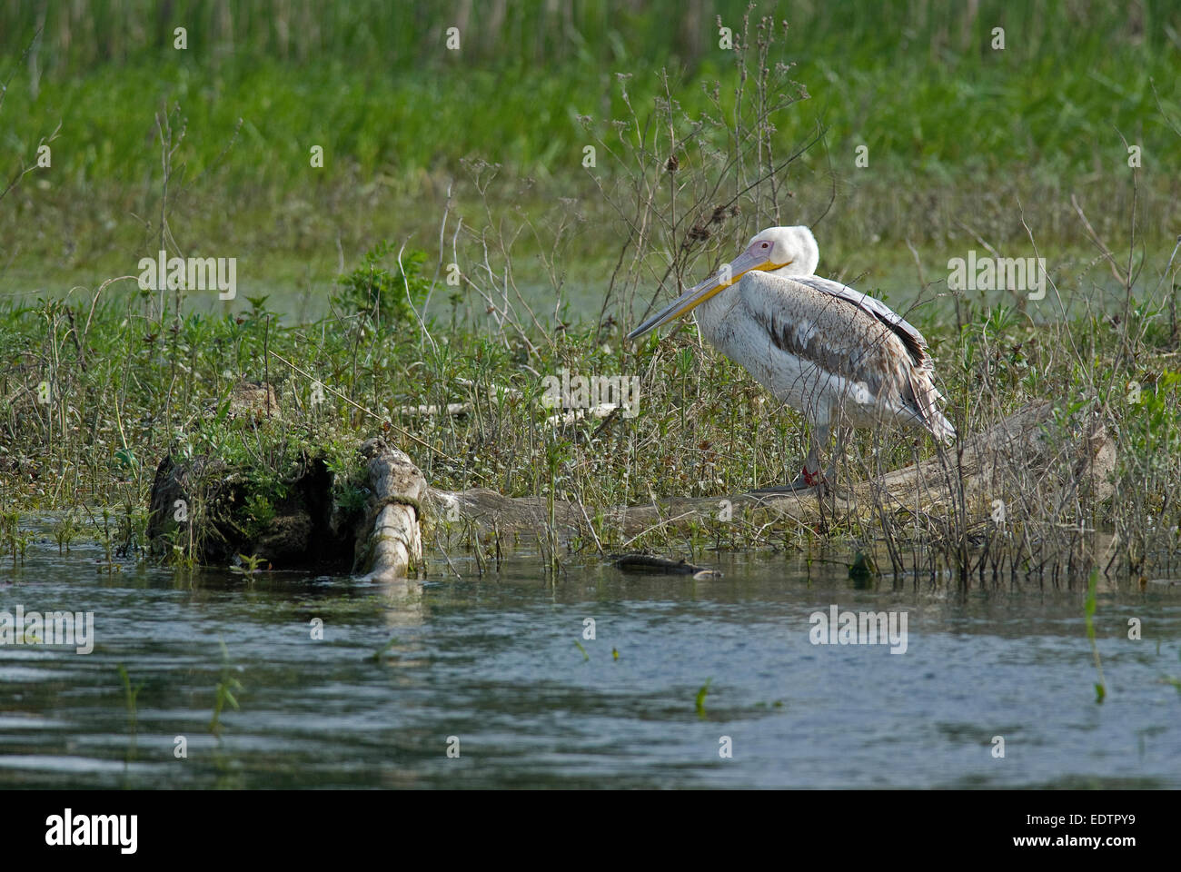Young of great white pelican (Pelecanus onocrotalus), Danube delta, Romania, Europa - Stock Image