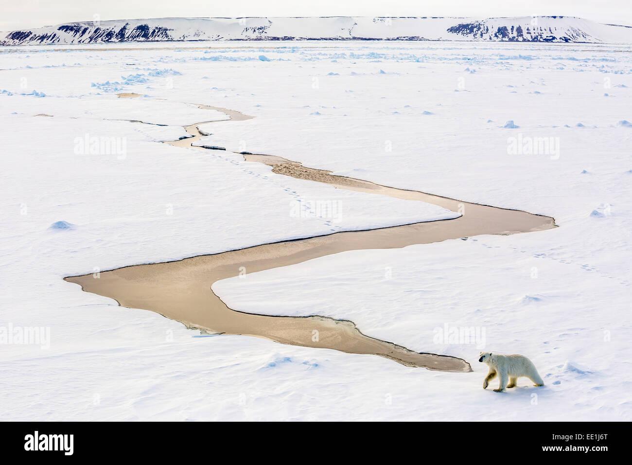 Adult polar bear (Ursus maritimus) on first year sea ice in Olga Strait, near Edgeoya, Svalbard, Arctic, Norway, - Stock Image