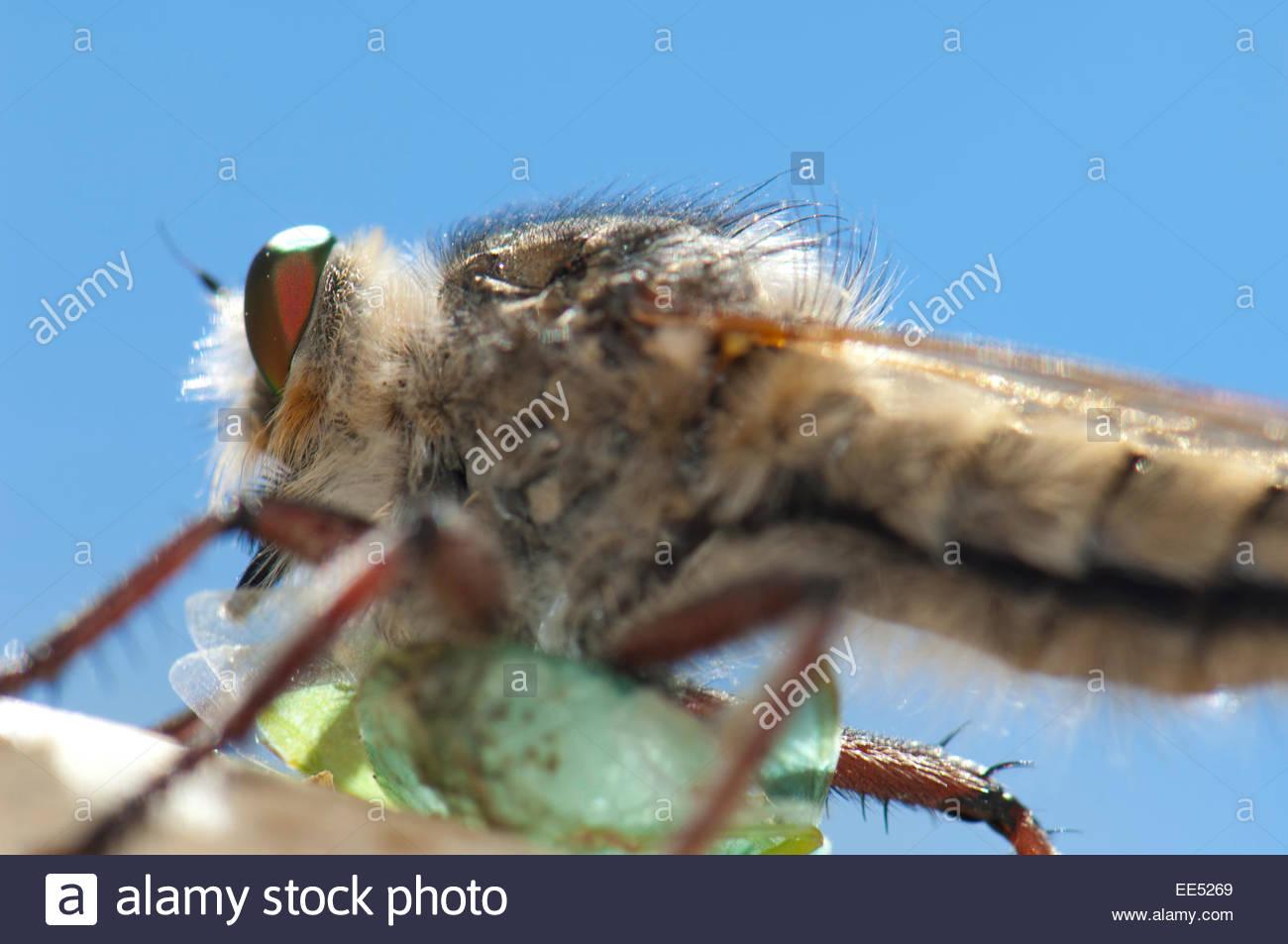 Assassin fly (Promachus latitarsatus) feeding of a bug (Hemiptera) . Stock Photo