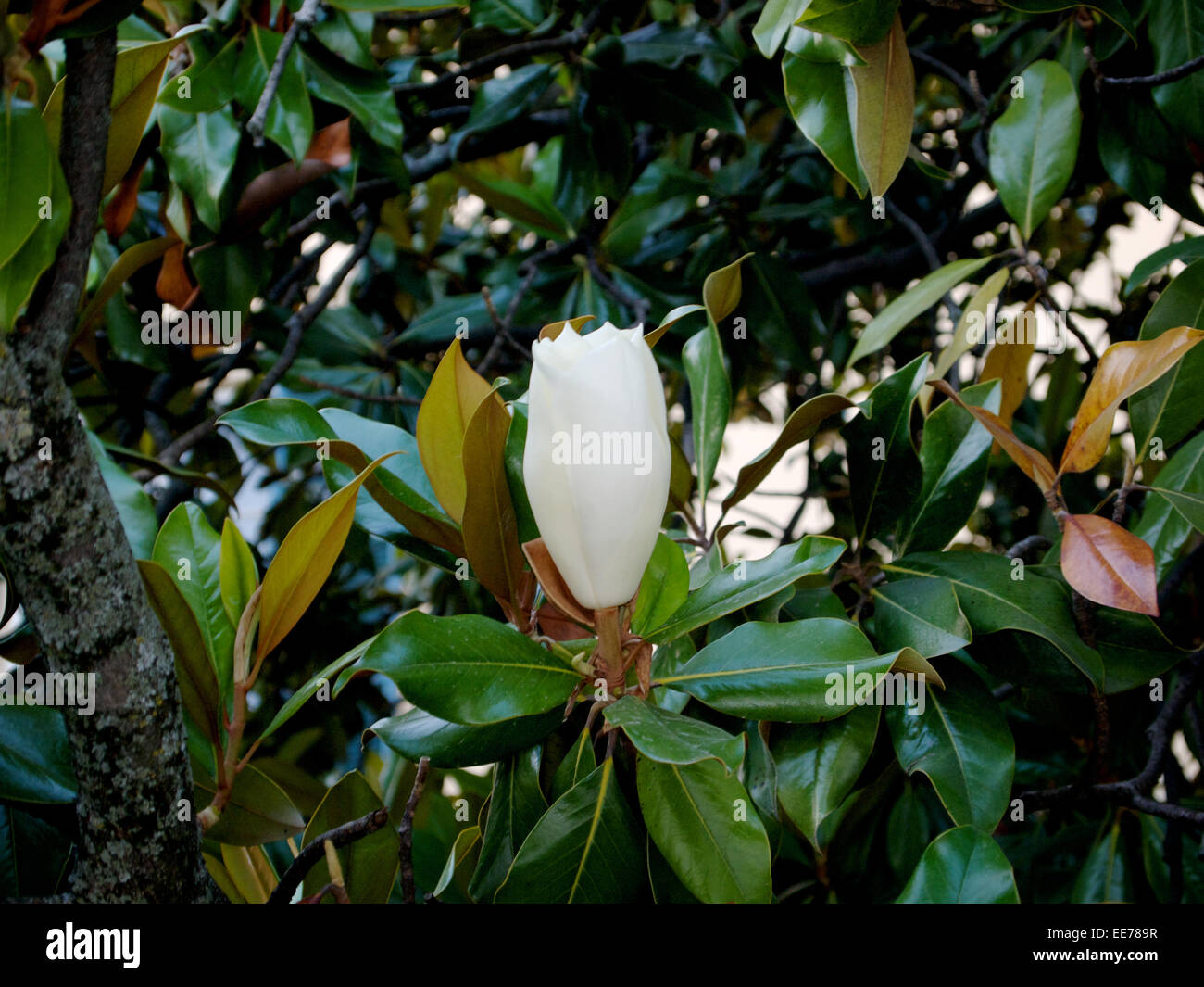 A Magnolia tree with a white blooming flower and green yellow and ...