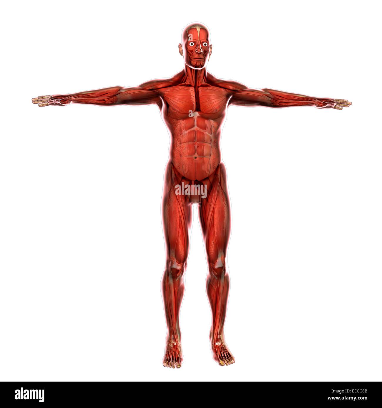 Human Muscular System Stock Photo 77722859 Alamy